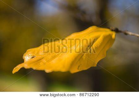 Detail Of Autumnal Tree Leaf