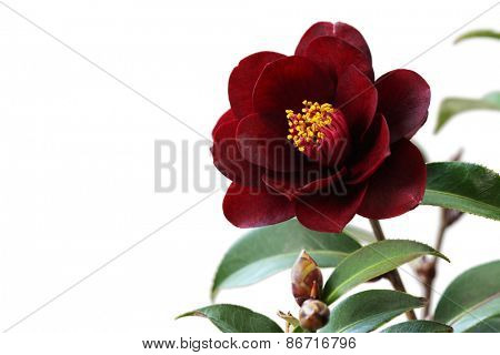 camelia, night rider on white background