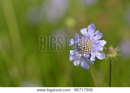 Scabious In Spring