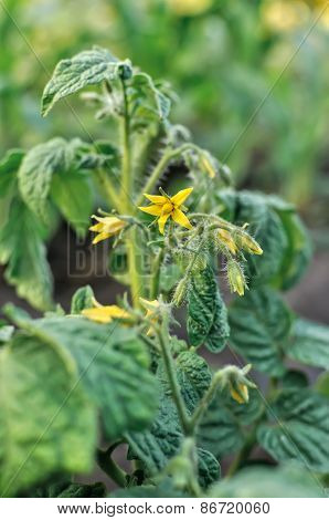 Close-up Of A Blooming Tomato Plant