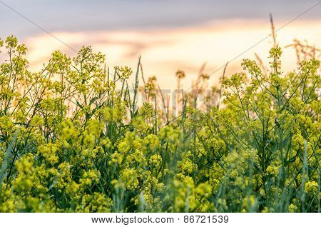 Cypress Spurge (euphorbia Cyparissias) On A Meadow