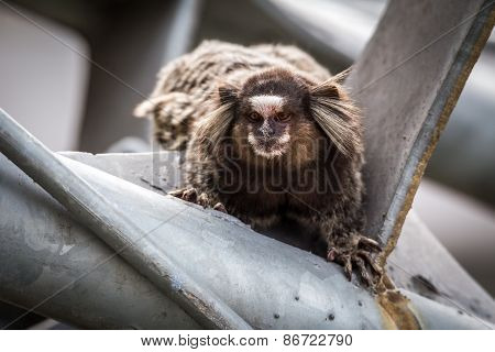 Common marmoset or White-eared marmoset