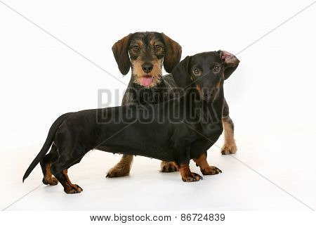 Twp Wirehaired Dachshund Dogs