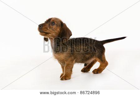 Wirehaired Dachshund Dog Puppy
