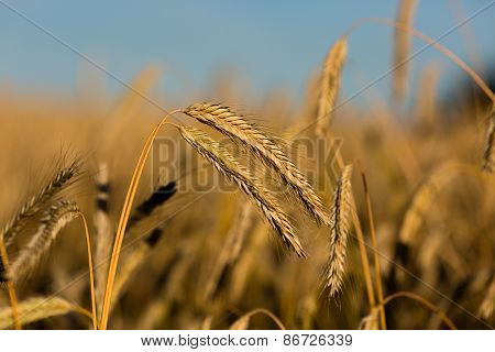 Close-up Of Ripe Wheat