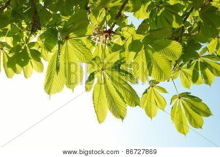 Green Leaves Of Chestnut.