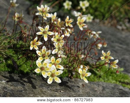Little saxifrage flowers