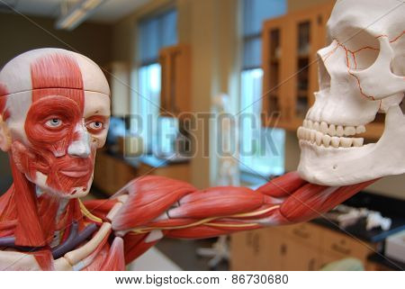 Muscular Skeleton Looking at Skull