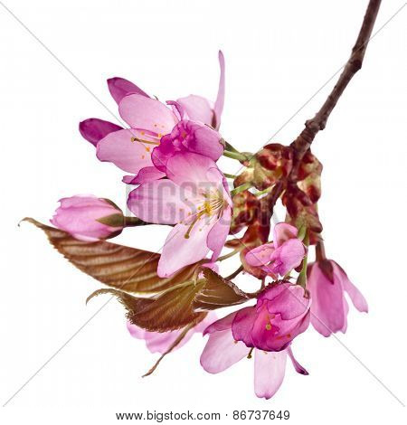 Cherry blossom, sakura flowering, close up  isolated on white background