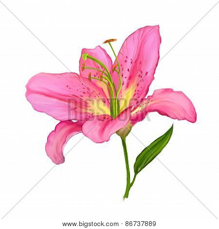 lily vector illustration  hand drawn  painted watercolor