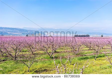 Orchard Of Peach Trees Bloomed In Spring