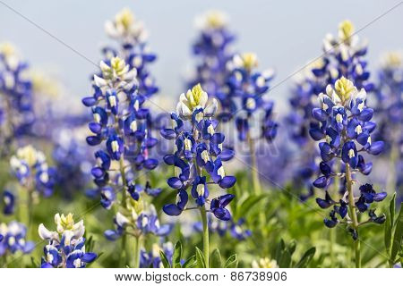 Texas Bluebonnets (lupinus Texensis) Closeup
