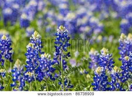 Texas Bluebonnet (lupinus Texensis) Closeup