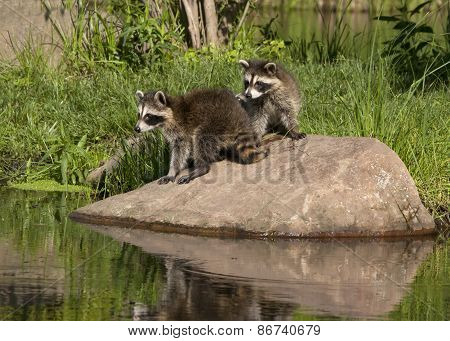 Two Young Raccoons Standing on a Rock