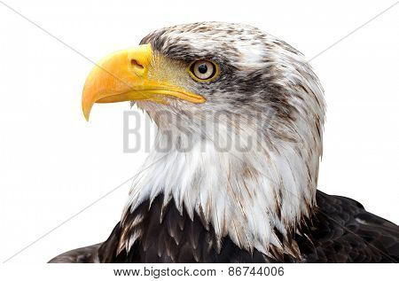 Bald Eagle - Haliaeetus leucocephalus isolated on white background