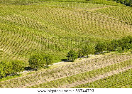 view of vineyards from near Velke Bilovice, Czech Republic