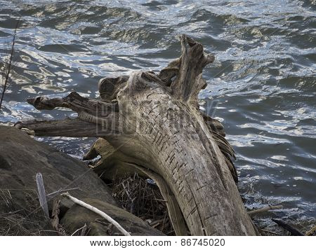 Tree Driftwood with Trunk and Roots. Rocks and Twig Debris. River Water.