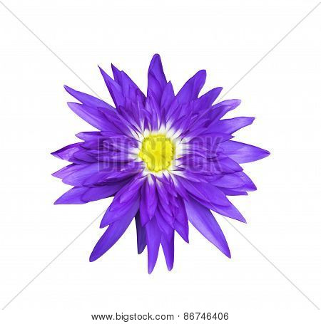 Magenta Lotus Flower On White