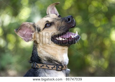 Dog Happy Smiling Laughing Outdoors German Sheppard