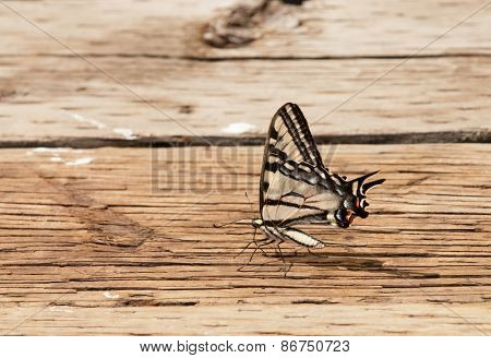 Western Tiger Swallowtail butterfly on decking