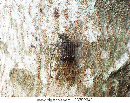 Green and Balck Cicada