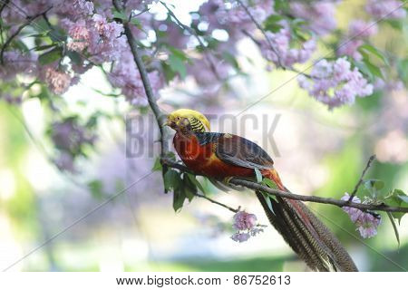 Golden Pheasant On Blooming Tree