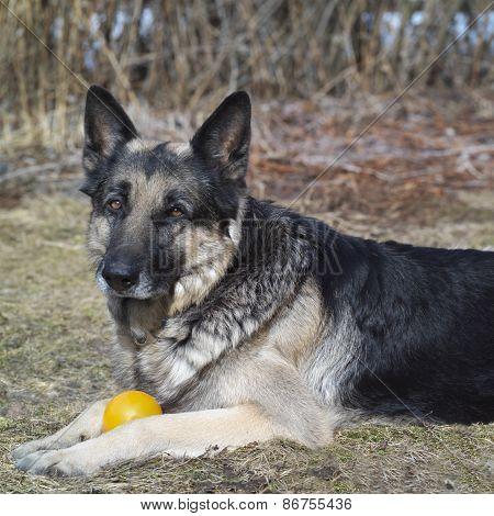 Shepher Dog And A Ball