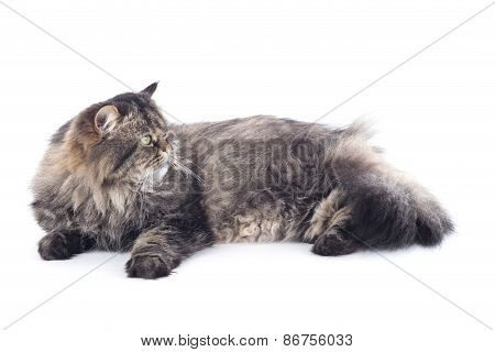 Persian Cat Lies
