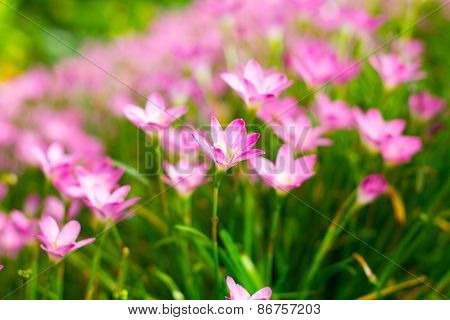 Zephyranthes Lily, Rain Lily, Fairy Lily, Little Witches