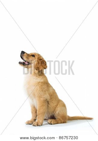 Golden Retriever Dog Barking While Sitting On The Floor, Isolate