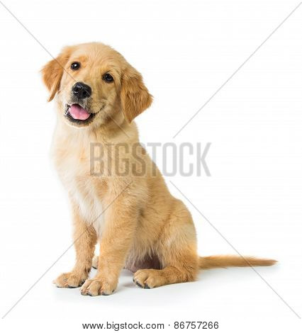 Golden Retriever Dog Sitting On The Floor, Isolated On White Bac
