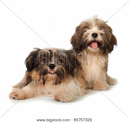 Two Happy Havanese Dog Isolated On White Background