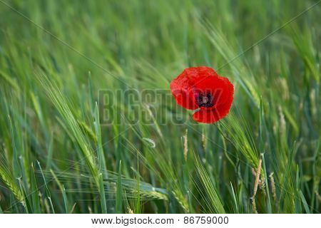 Bright Red Poppy On A Contrasting Background Of Green Grass