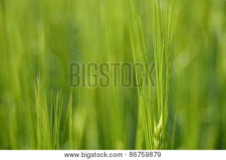 Macro Of Green Wheat Field