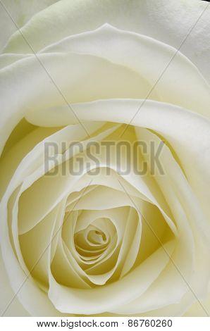Macro Of White Rose