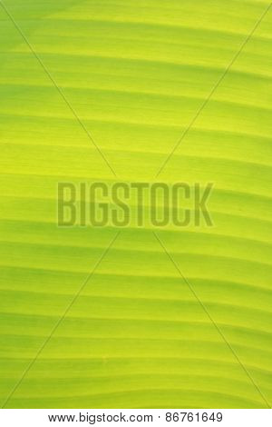 Vertical Background and Texture of Banana Leaf