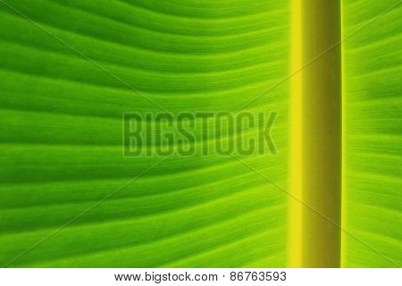 Background and Texture of Horizontal Banana Leaf