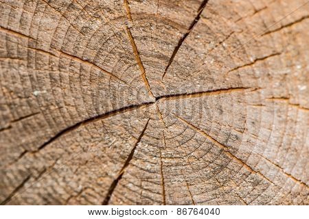 Tree Trunk Cross Section