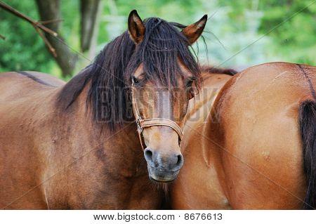 Hucul horses