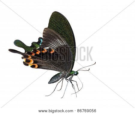 Isolated Paris Peacock Butterfly Sucking Food