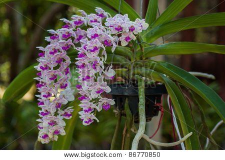 Orchids (rhynchostylis Gigantea),thailand.