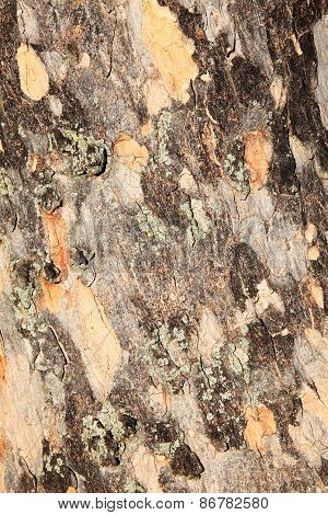 Bark from a London Plane Tree