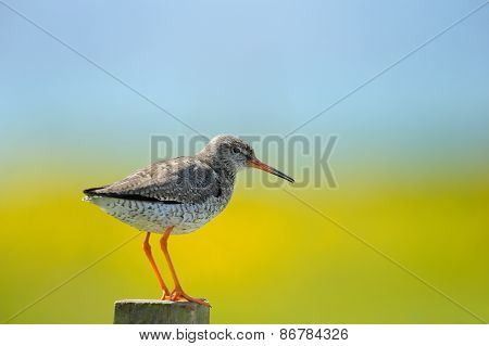 Redshank on a pole.