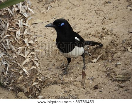 Magpie (North African Race)