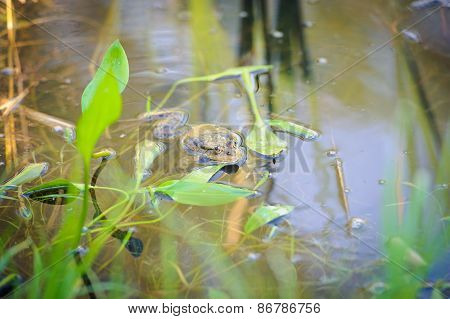 green edible frog
