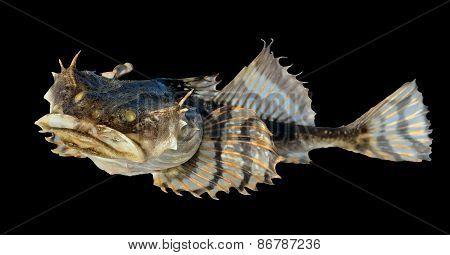 Small Pigfish