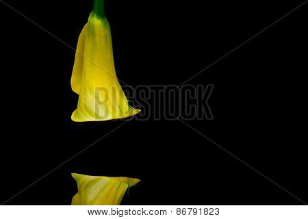 Portrait Of Yellow Calla Lily On A Black  Background