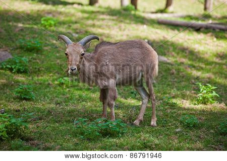 Female Siberian Mountain Goat