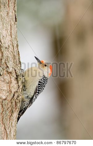 Female Red-bellied Wodpecker