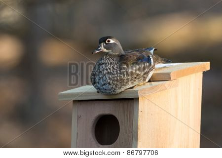 Female Wood Duck In Nest Box